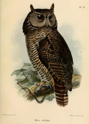 Shelley's eagle-owl