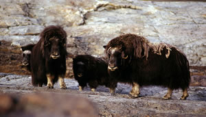 Muskox family in Greenland