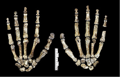 Hands of Homo naledi. Source: eLife Sciences