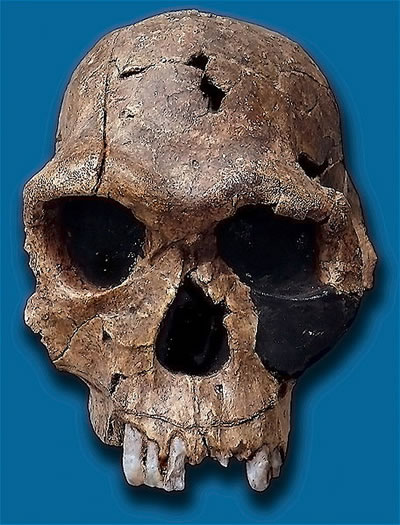 Replica of  Homo habilis skull