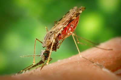 Anopheles Mosquito Feeding on Human