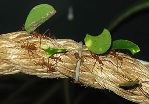Leafcutter Ants, Bristol Zoo, UK