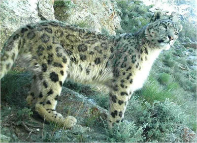 During Earth Day, people think about the plight of endangered species, such as the snow leopard.