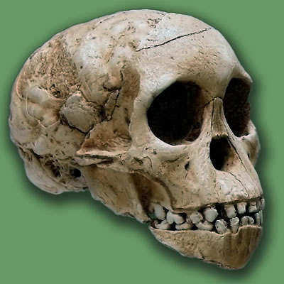 Replica of Taung Child Skull