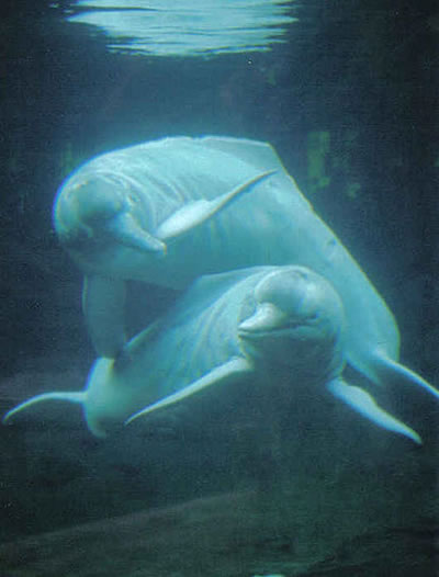 Amazon river dolphins. Photo by Stephanie Triltsch, Creative Commons License.